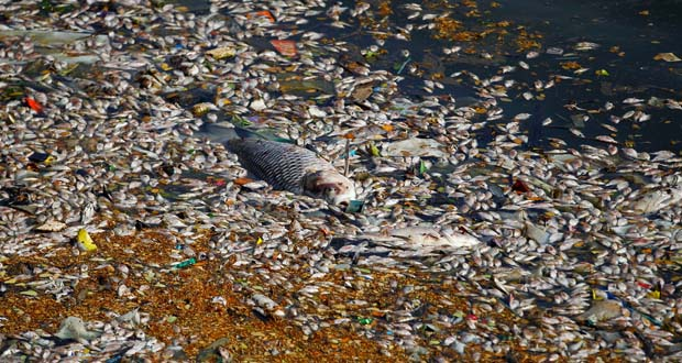 Photo of Miles de peces muertos flotan en un lago contaminado de la India