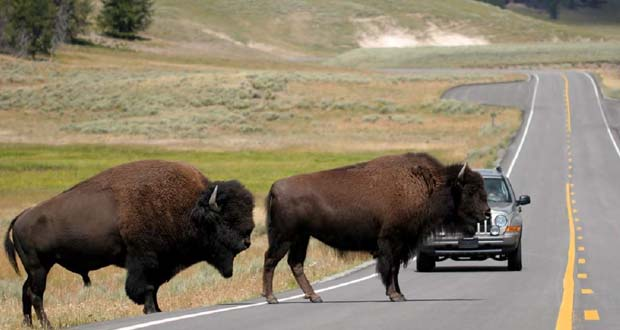 Photo of El parque Yellowstone mata a 900 bisontes para evitar problemas con los vecinos