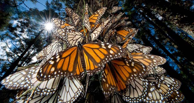 Photo of El frío mexicano, la amenaza letal de las mariposas monarca