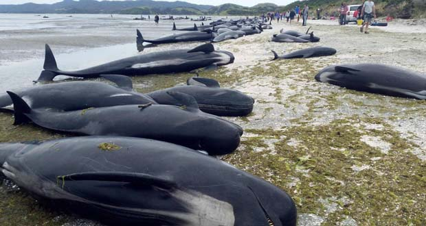 Photo of 300 ballenas mueren varadas en Nueva Zelanda