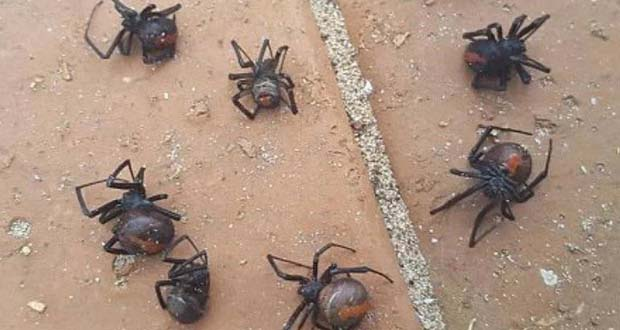 Photo of Una plaga de arañas mortíferas invade casas de Australia