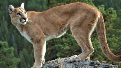 Photo of Declaran extinto al Puma del este de Norteamérica