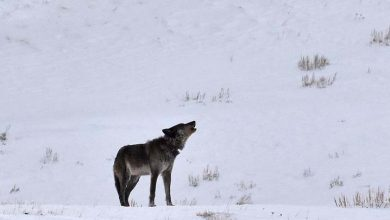 Photo of La loba más famosa de Yellowstone abatida por cazadores