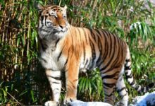 Photo of Un tigre del zoo de Nueva York da positivo por coronavirus